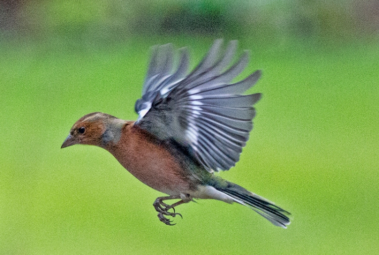 flying chaffinch wings up