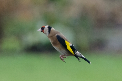 flying goldfinch in