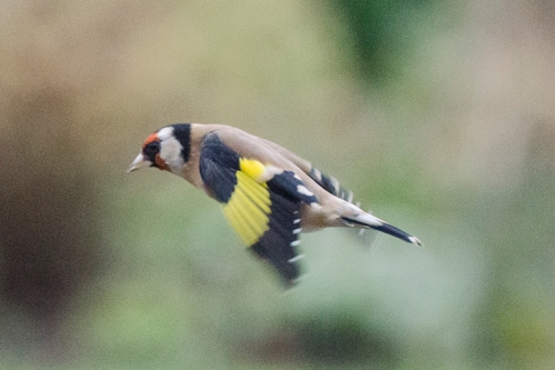 flying goldfinch november