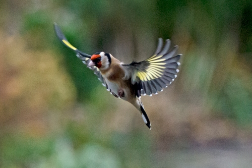 flying goldfinch out