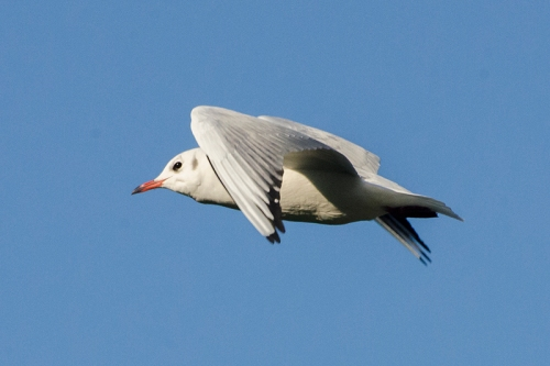 flying gull in sky