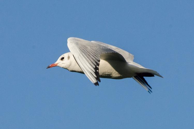 flying gull in sky