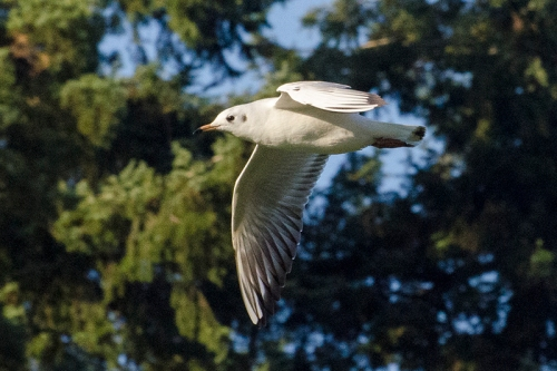 flying gull with trees