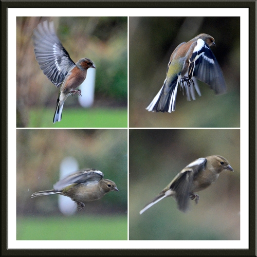 four flying chaffinches