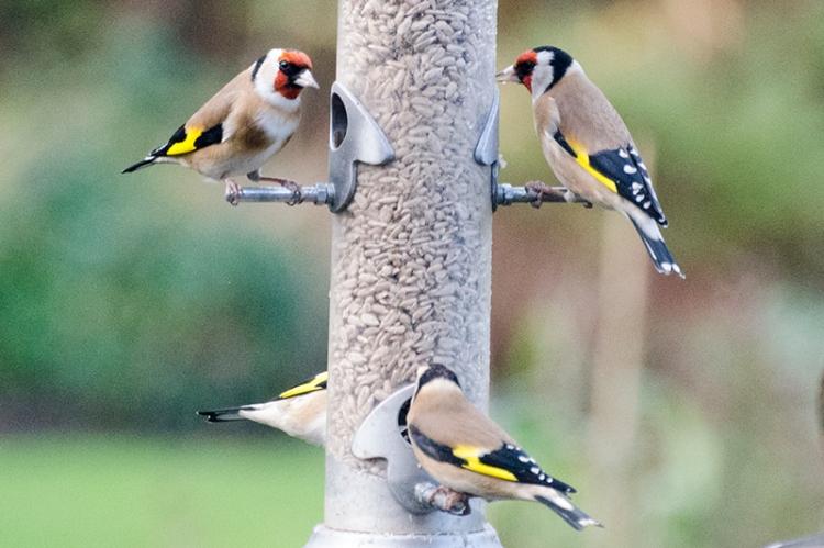 goldfinch crowd