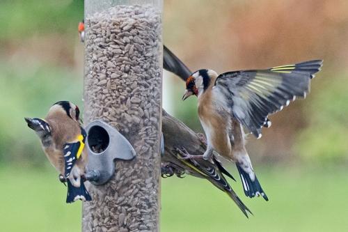 goldfinch kicking goldfinch