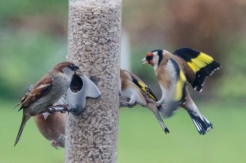 goldfinch kicking greenfinch
