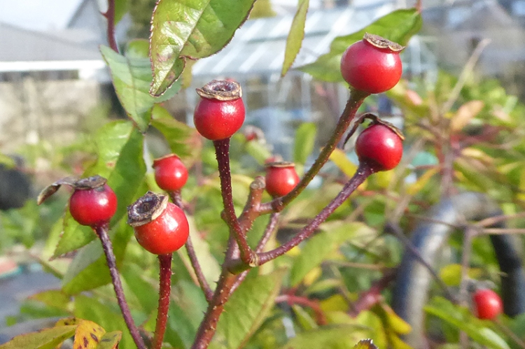 goldfinch rose hips