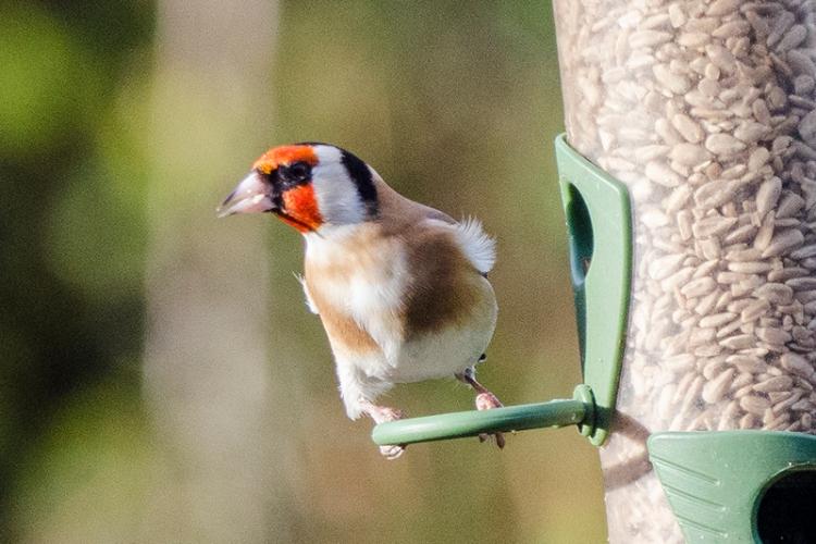 goldfinch ruffled