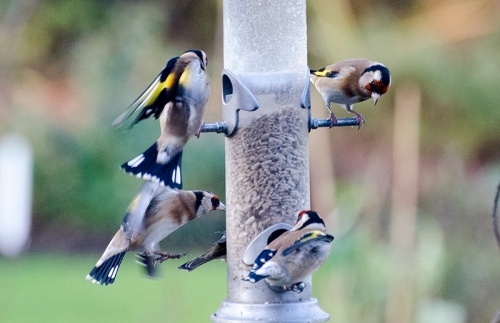 goldfinch swirl