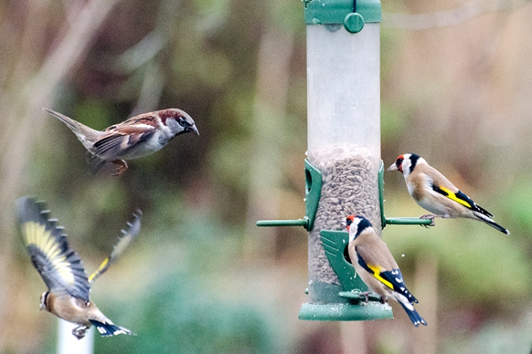 goldfinches and sparrow