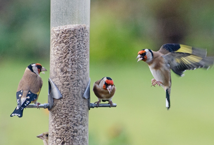 goldfinches at feeder