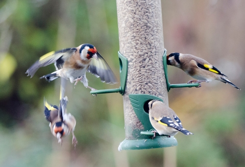 goldfinches coming and goin
