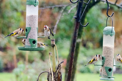 goldfinches on two feeders