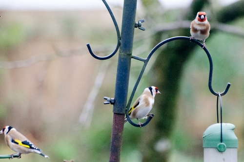 goldfinches perching