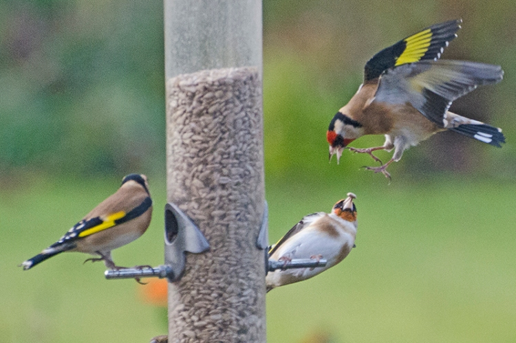 goldfinches squabbling