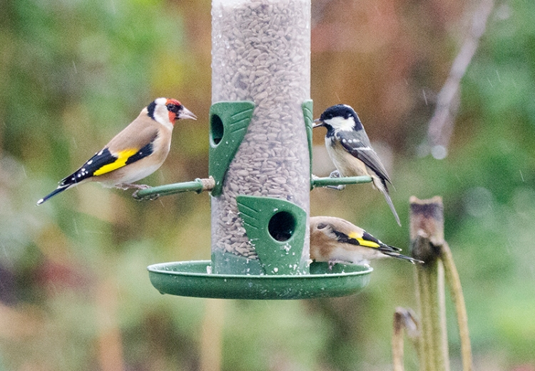 goldfinches with coal tit