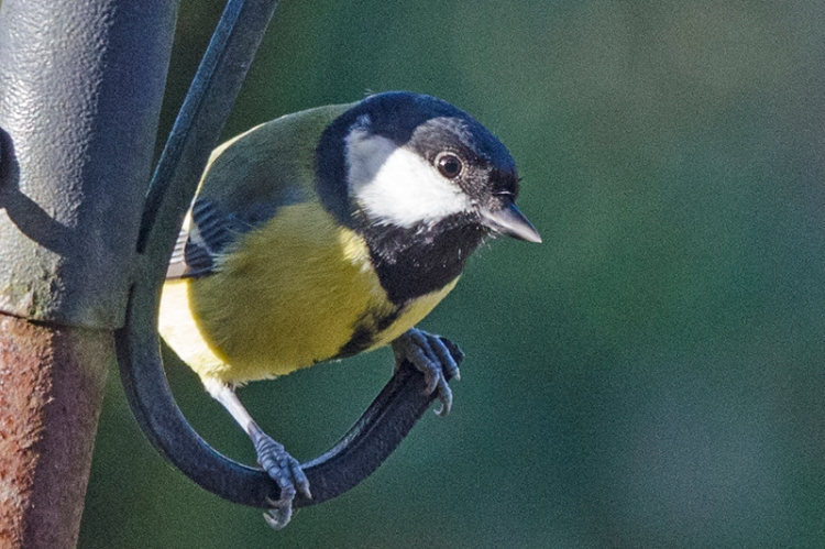 great tit on the pole