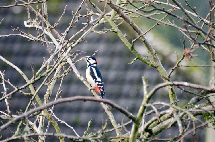 greater spotted woodpecker in tree