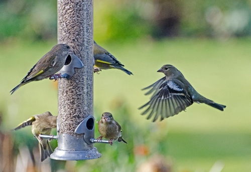 greenfinches and approaching chaffinch