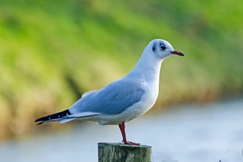 gull on Castleholm posts