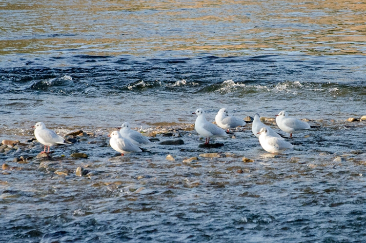 gulls at meeting of waters