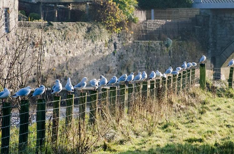 gulls on Castleholm posts
