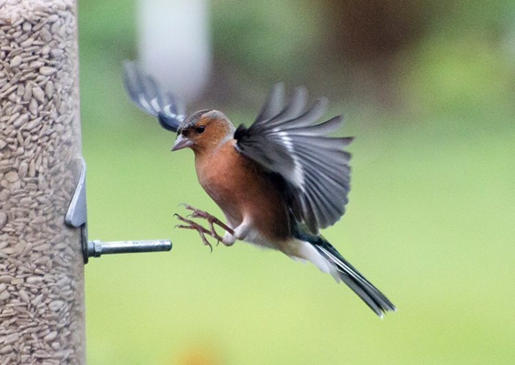 just flying chaffinch