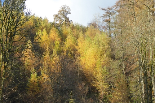 larches in November