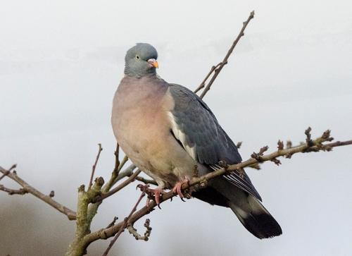lofty pigeon