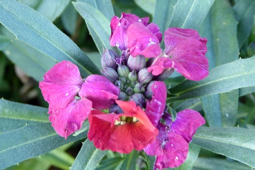 november perennial wallflower