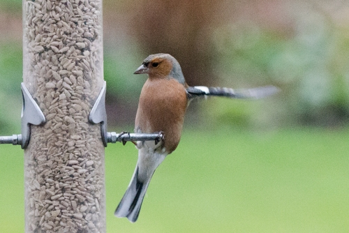 one armed chaffinch