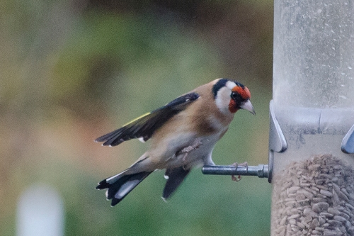 one legged goldfinch landing