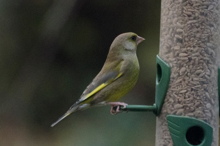 perching greenfinch
