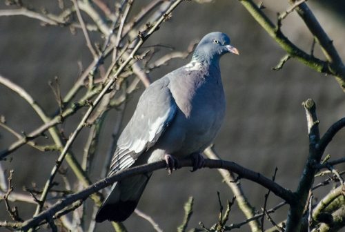 pigeon in plum tree