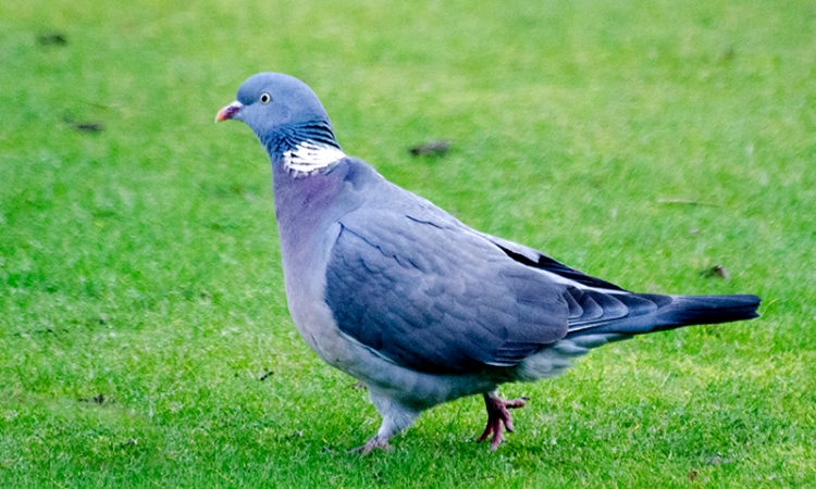 pigeon on lawn
