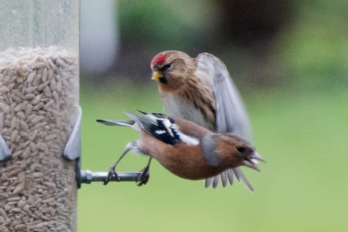 redpoll attacking