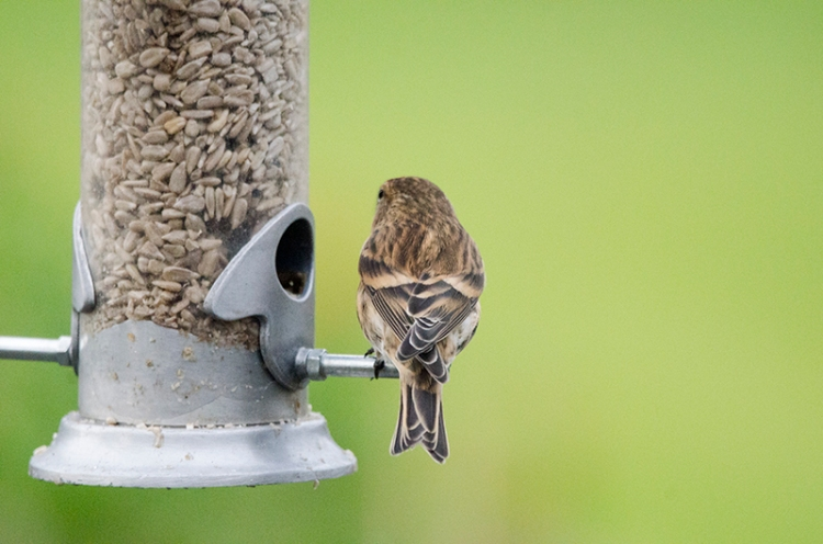 redpoll from behind