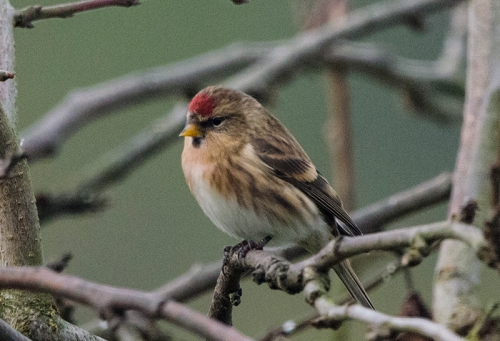redpoll in plum tree