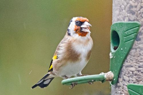 scruffy goldfinch