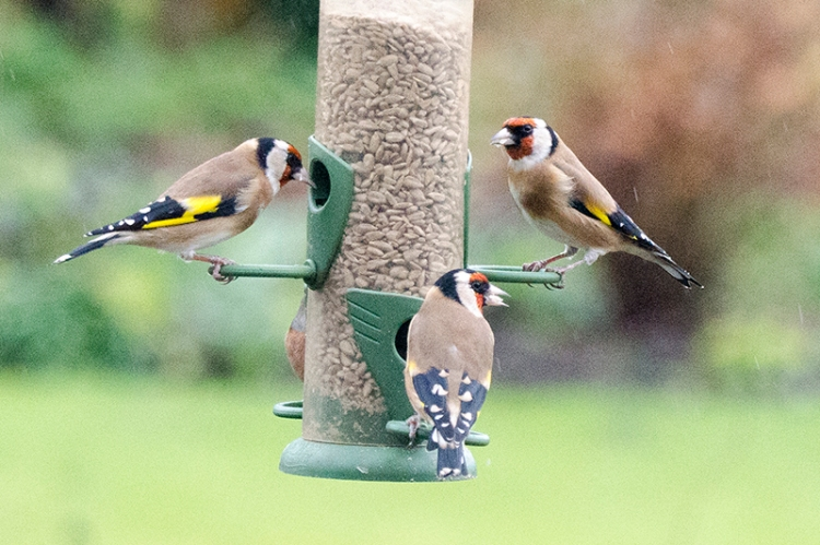 set of goldfinches