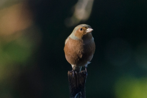 shadowed chaffinch