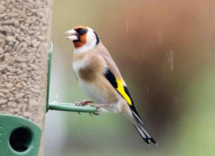 smart goldfinch