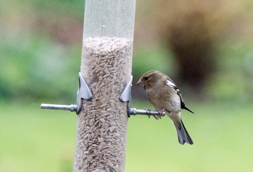 solo chaffinch at feeder