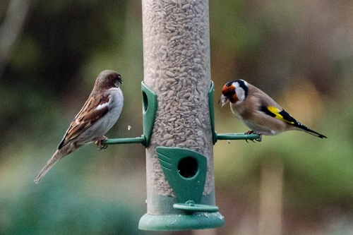 sparrow and goldfinch