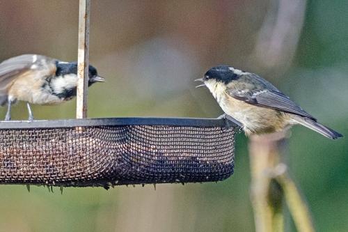 sparrow coal tits