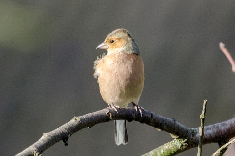 sunlit chaffinch