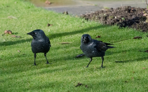 two curious jackdaws