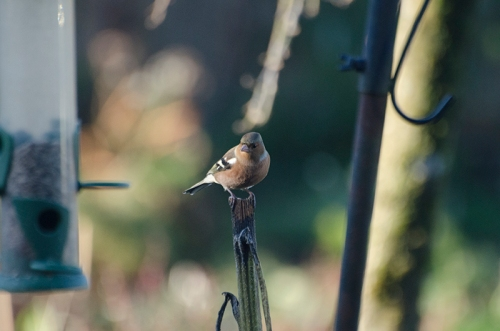 unshadowed chaffinch