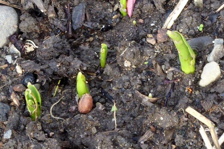 very early tulip shoots